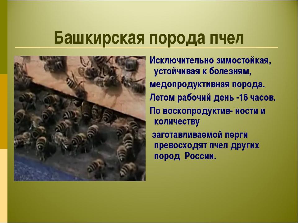 Башкирская порода пчел Исключительно зимостойкая, устойчивая к болезням, медо...