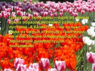 Цветущие тюльпаны – один из самых ярких образов весенней степи и пустыни. А