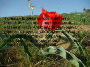 Тюльпан Шренка который цветет в степях Жезказгана с апреля по май назван в че