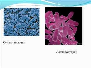 Сенная палочка Лактобактерии