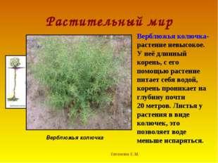 Растительный мир Евгенова Е.М. Верблюжья колючка Верблюжья колючка- растение