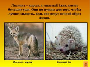 Лисичка – корсак и ушастый ёжик имеют большие уши. Они им нужны для того, что