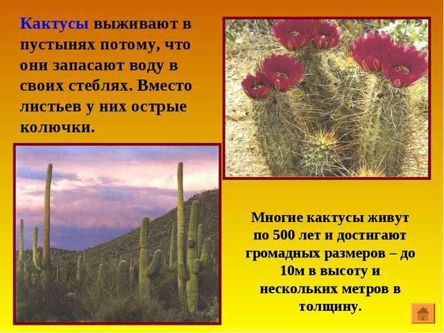 Кактусы выживают в пустынях потому, что они запасают воду в своих стеблях. Вм...