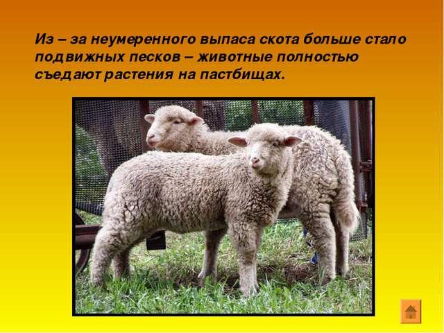 Из – за неумеренного выпаса скота больше стало подвижных песков – животные по...