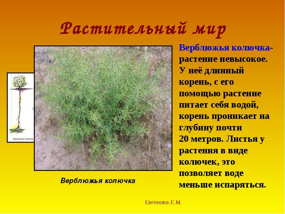Растительный мир Евгенова Е.М. Верблюжья колючка Верблюжья колючка- растение...