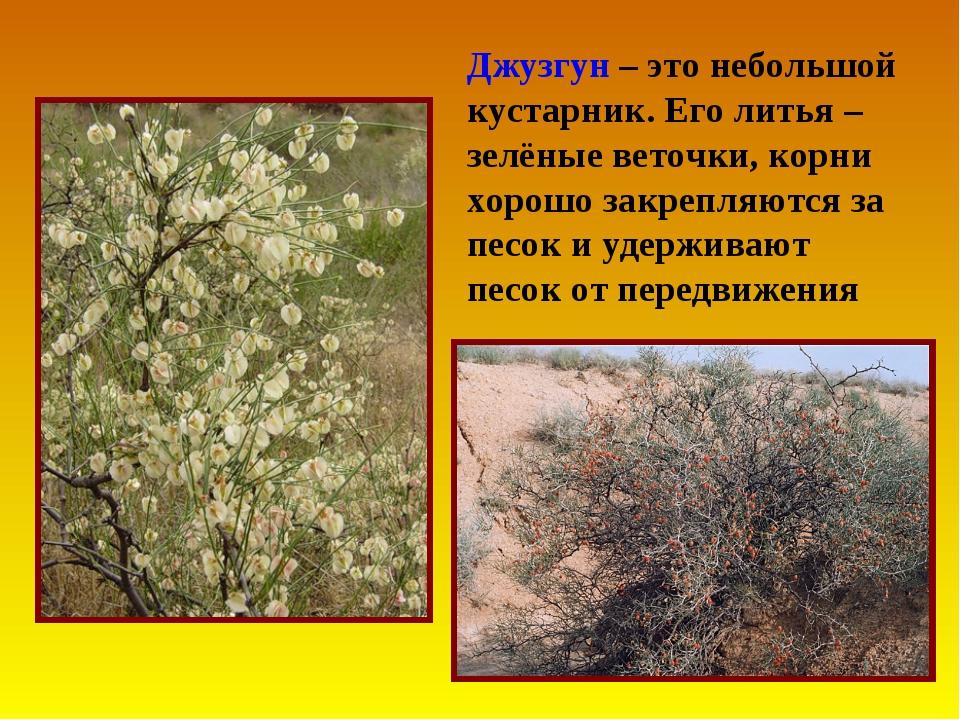 Джузгун – это небольшой кустарник. Его литья – зелёные веточки, корни хорошо...