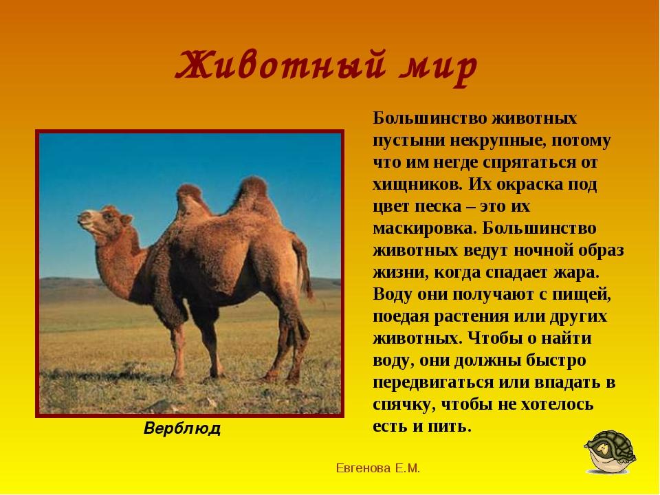 Животный мир Евгенова Е.М. Верблюд Большинство животных пустыни некрупные, по...