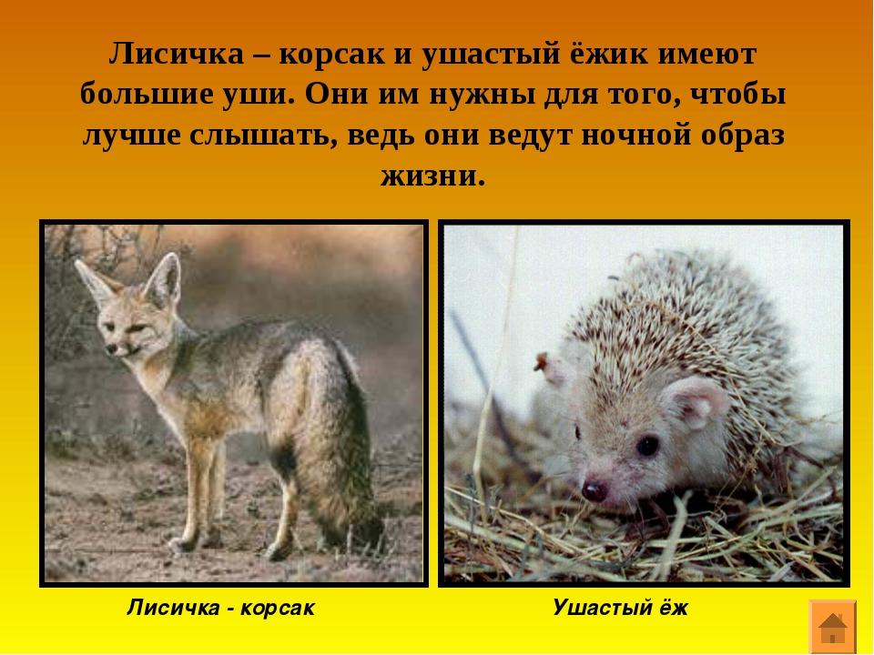 Лисичка – корсак и ушастый ёжик имеют большие уши. Они им нужны для того, что...