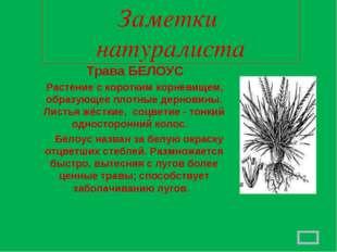 Заметки натуралиста Трава БЕЛОУС Растение с коротким корневищем, образующее п