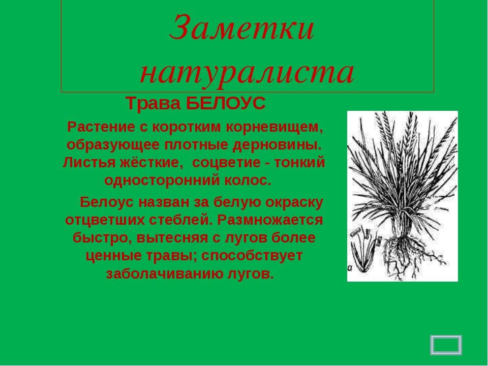 Заметки натуралиста Трава БЕЛОУС Растение с коротким корневищем, образующее п...