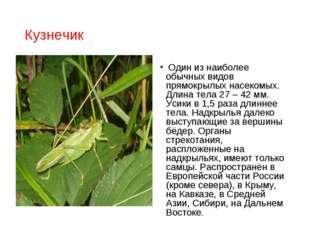 Кузнечик Один из наиболее обычных видов прямокрылых насекомых. Длина тела 27
