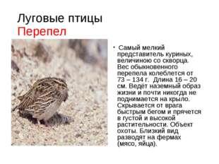 Луговые птицы Перепел Самый мелкий представитель куриных, величиною со скворц