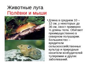 Животные луга Полёвки и мыши Длина в среднем 10 – 12 см, у некоторых до 36 см