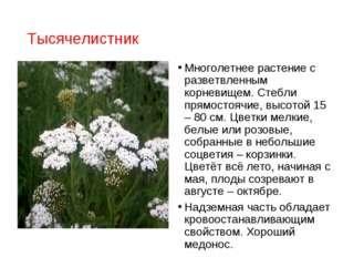 Тысячелистник Многолетнее растение с разветвленным корневищем. Стебли прямост