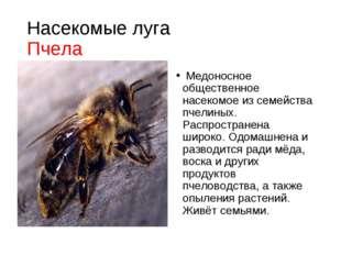 Насекомые луга Пчела Медоносное общественное насекомое из семейства пчелиных.