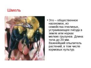 Шмель Это – общественное насекомое, из семейства пчелиных, устраивающее гнёзд