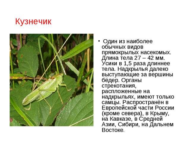 Кузнечик Один из наиболее обычных видов прямокрылых насекомых. Длина тела 27...