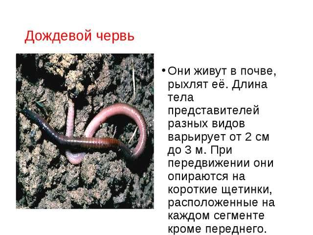 Дождевой червь Они живут в почве, рыхлят её. Длина тела представителей разных...