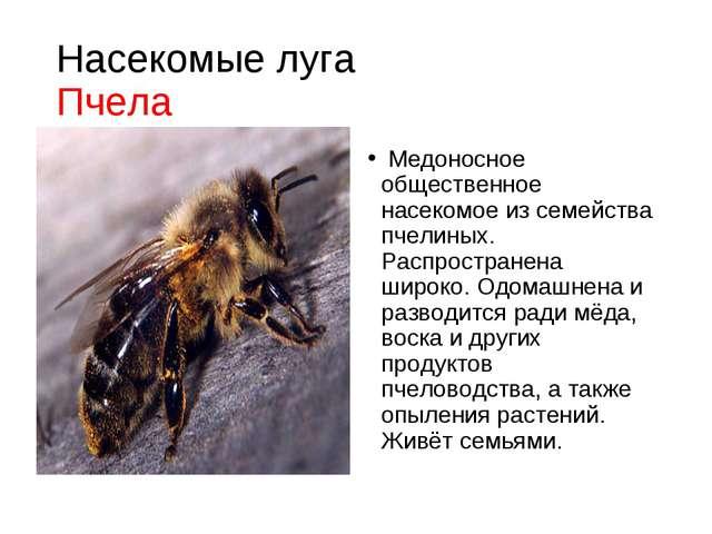 Насекомые луга Пчела Медоносное общественное насекомое из семейства пчелиных....