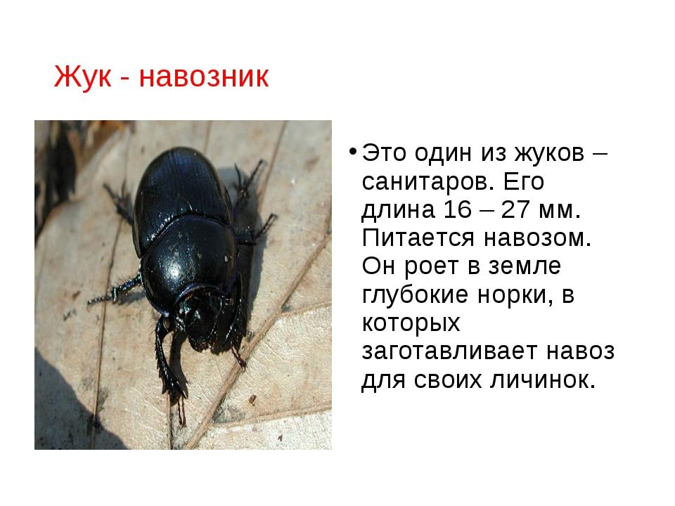 Жук - навозник Это один из жуков – санитаров. Его длина 16 – 27 мм. Питается...