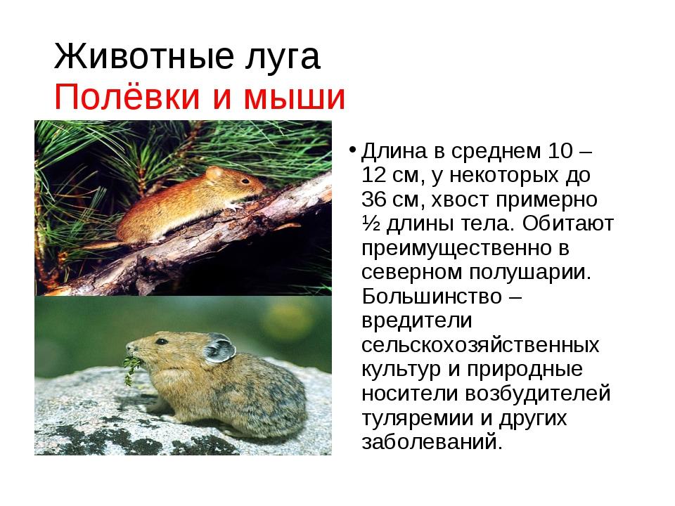 Животные луга Полёвки и мыши Длина в среднем 10 – 12 см, у некоторых до 36 см...