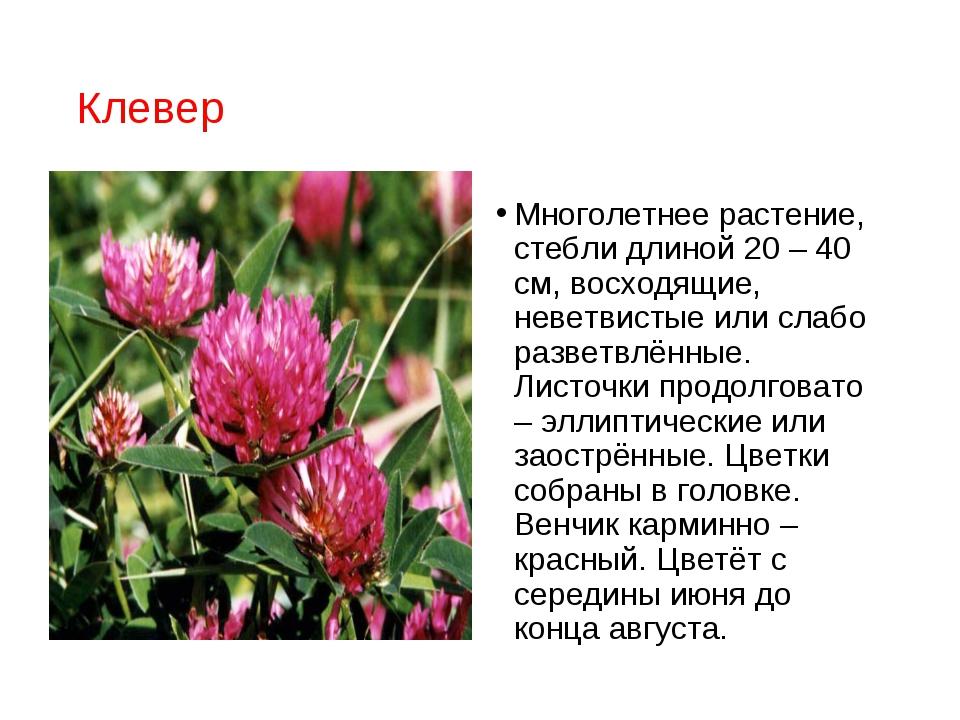Клевер Многолетнее растение, стебли длиной 20 – 40 см, восходящие, неветвисты...