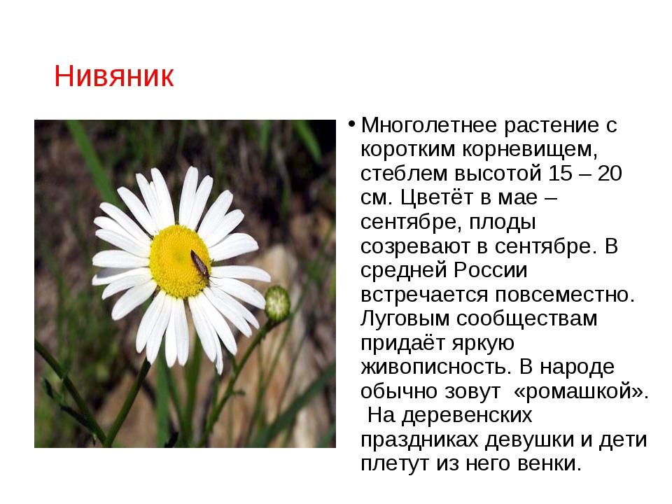 Нивяник Многолетнее растение с коротким корневищем, стеблем высотой 15 – 20 с...