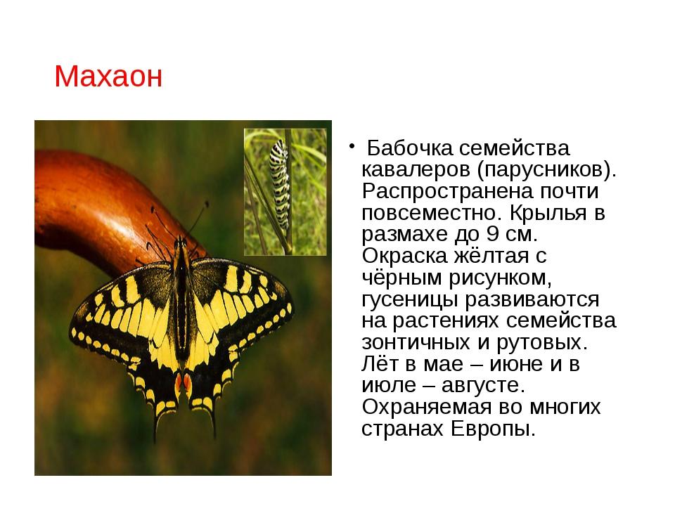 Махаон Бабочка семейства кавалеров (парусников). Распространена почти повсеме...