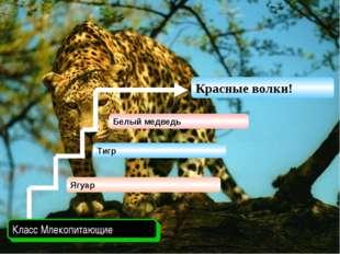 Ягуар Класс Млекопитающие Белый медведь Красные волки! Тигр