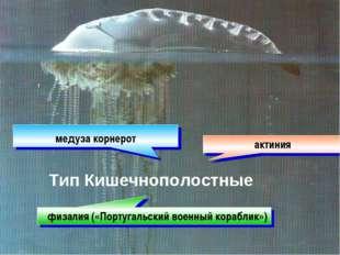 , актиния медуза корнерот физалия («Португальский военный кораблик») Тип Кише