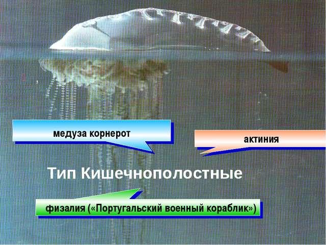 , актиния медуза корнерот физалия («Португальский военный кораблик») Тип Кише...