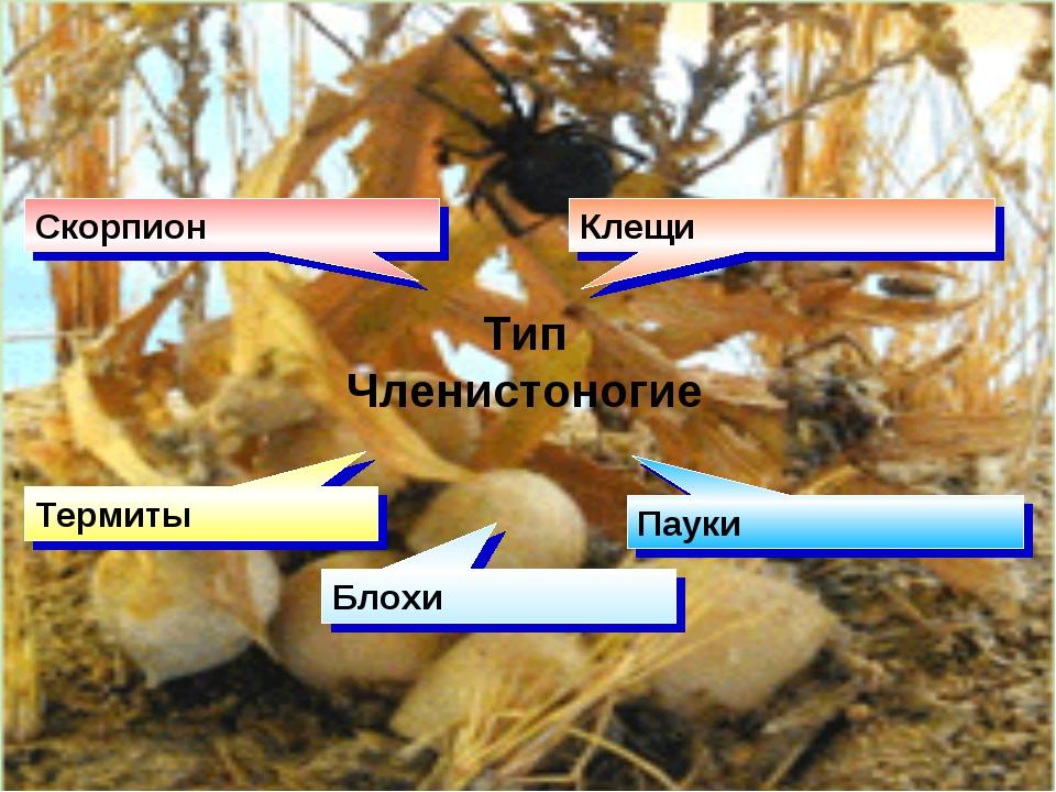 Тип Членистоногие Скорпион Клещи Термиты Блохи Пауки