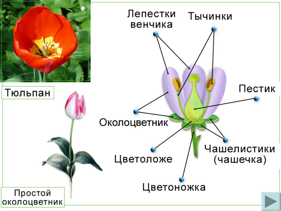 Тюльпан строение картинка
