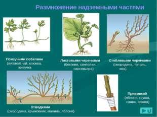 Размножение надземными частями Листовыми черенками (бегония, сенполия, сансев