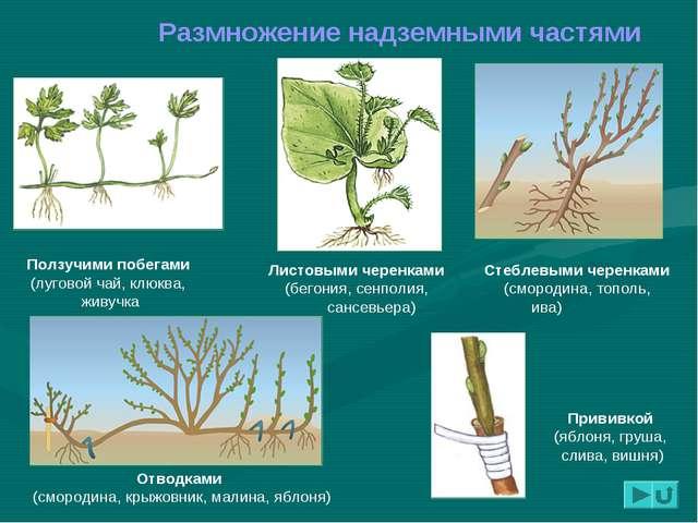 Размножение надземными частями Листовыми черенками (бегония, сенполия, сансев...