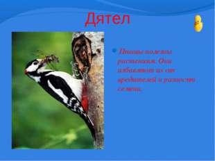 Дятел Птицы полезны растениям. Они избавляют их от вредителей и разносят семе