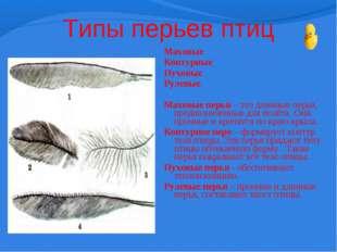 Типы перьев птиц Маховые Контурные Пуховые Рулевые  Маховые перья – это длин