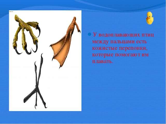 У водоплавающих птиц между пальцами есть кожистые перепонки, которые помогаю...