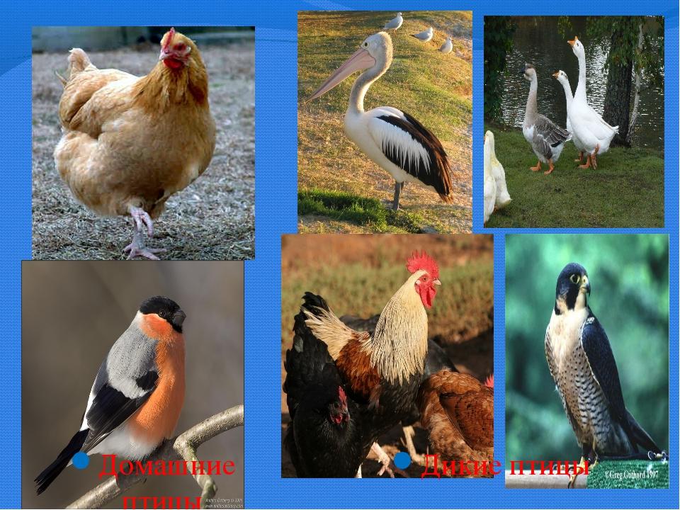 Домашние птицы Дикие птицы