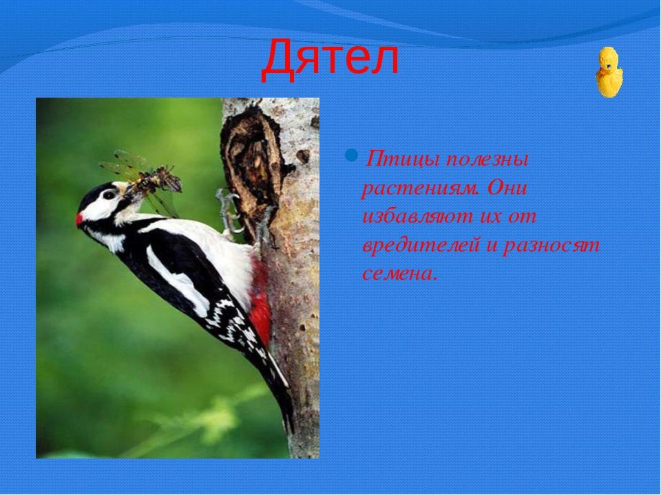 Дятел Птицы полезны растениям. Они избавляют их от вредителей и разносят семе...