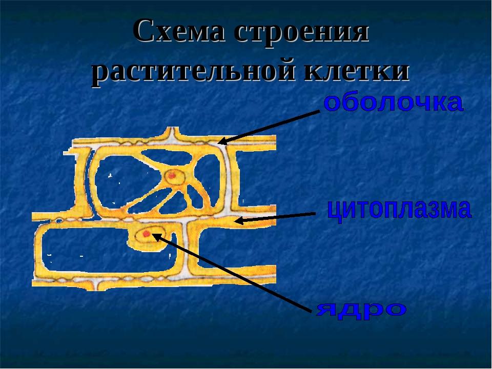Схема строения растительной клетки