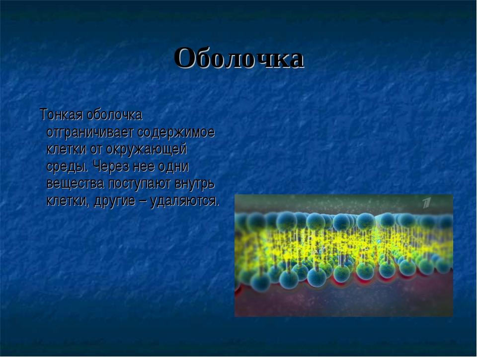 Оболочка Тонкая оболочка отграничивает содержимое клетки от окружающей среды....