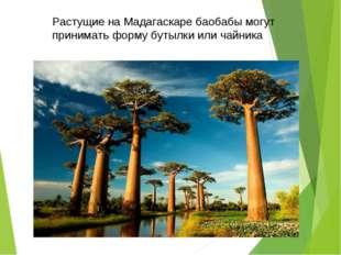 Растущие на Мадагаскаре баобабымогут принимать форму бутылки или чайника