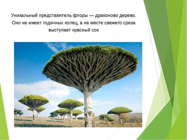 Уникальный представитель флоры — драконово дерево. Оно не имеет годичных коле...