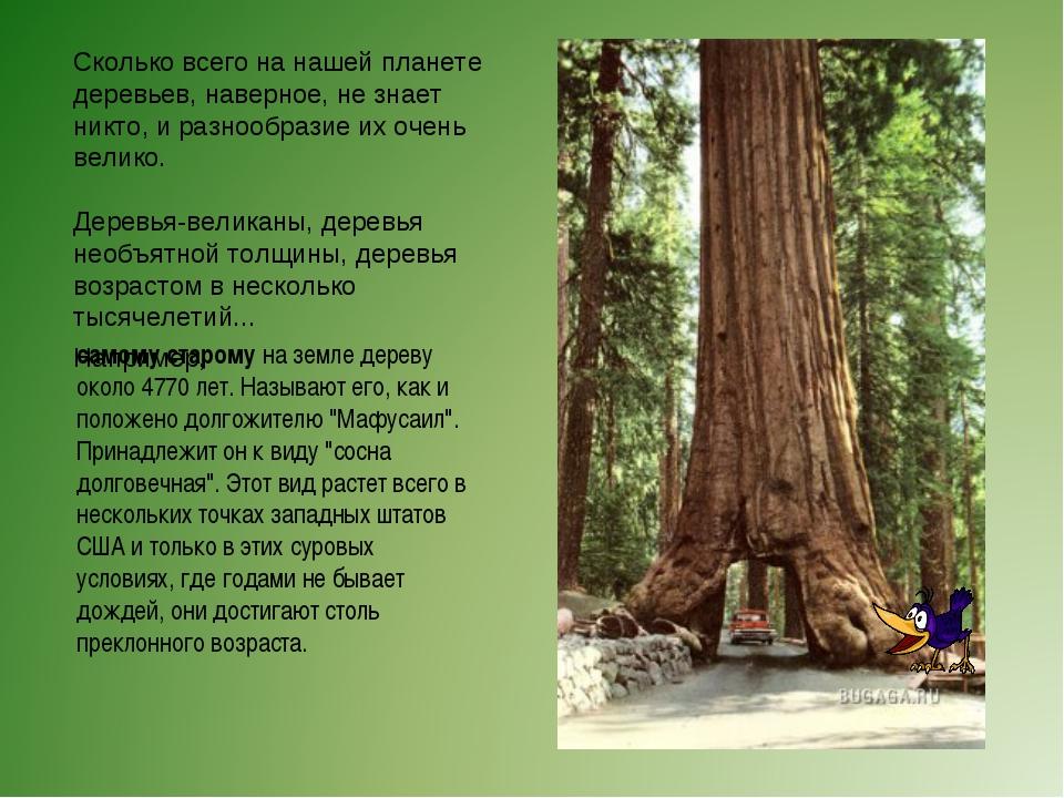 Сколько всего на нашей планете деревьев, наверное, не знает никто, и разнообр...