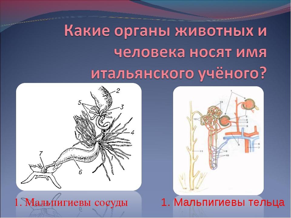 1. Мальпигиевы тельца 1. Мальпигиевы сосуды