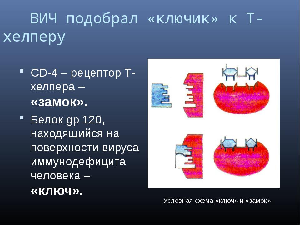 ВИЧ подобрал «ключик» к Т-хелперу CD-4 – рецептор Т-хелпера – «замок». Белок...