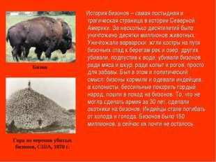 История бизонов – самая постыдная и трагическая страница в истории Северной