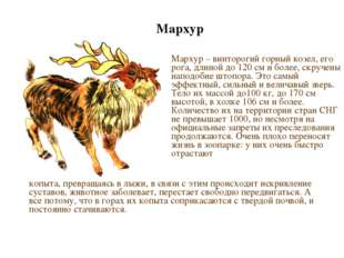 Мархур Мархур – винторогий горный козел, его рога, длиной до 120 см и более,