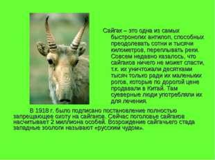 Сайгак – это одна из самых быстроногих антилоп, способных преодолевать сотни